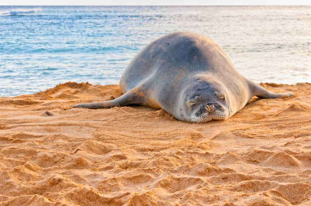 Kauai's Hawaiian Monk Seals: Everything You Need to Know